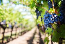 purple grapes on vine